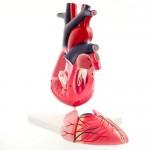 Hjerte, 2-delt